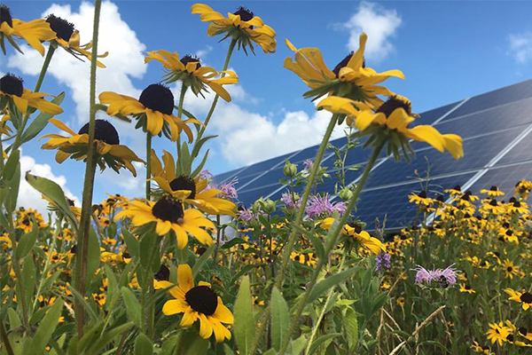 Solar panels and pollinators